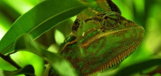 Chamäleon getarnt zwischen Blättern