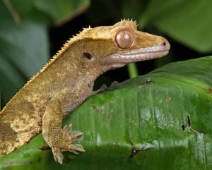 Gecko auf einem Blatt
