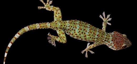 GesamtaGesamtansicht mit sichtbaren Füßen eines Geckos
