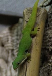 grüner Gecko beim Klettern auf einer glatten Oberfläche